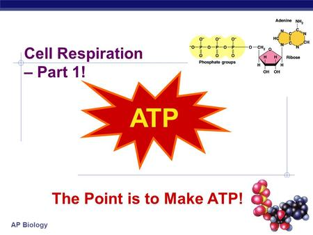 AP Biology The Point is to Make ATP! ATP Cell Respiration – Part 1!