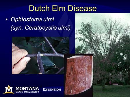 Dutch Elm Disease Ophiostoma ulmi (syn. Ceratocystis ulmi)