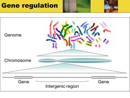Gene regulation. How does DNA make different cells? All cells have a full set of DNA Not all the DNA is expressed in each one Promoters and repressors.