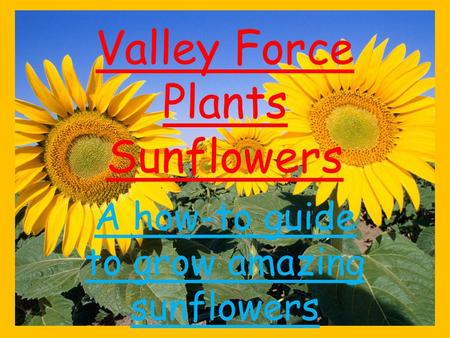 Valley Force Plants Sunflowers A how-to guide to grow amazing sunflowers.
