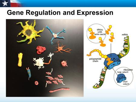 Gene Regulation and Expression. Learning Objectives  Describe gene regulation in prokaryotes.  Explain how most eukaryotic genes are regulated.  Relate.