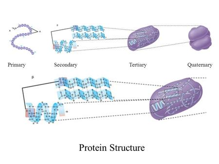 Primary Secondary Tertiary Quaternary Protein Structure.