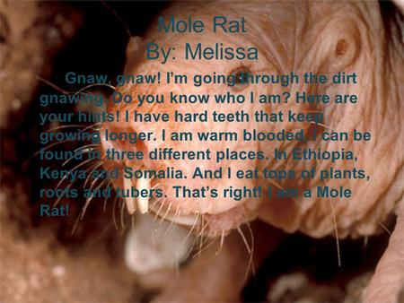 Mole Rat By: Melissa Gnaw, gnaw! I'm going through the dirt gnawing. Do you know who I am? Here are your hints! I have hard teeth that keep growing longer.