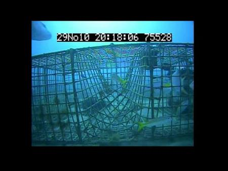 Engineering Bycatch Reduction in West Indian Fish Traps: STFA CRP Trap Vent Study CRP Project No. NMF4540101.