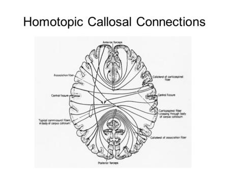 Homotopic Callosal Connections. Equipotentiality vs homotopic principle.