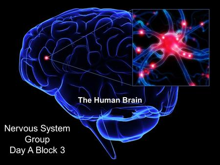 The Human Brain Nervous System Group Day A Block 3.