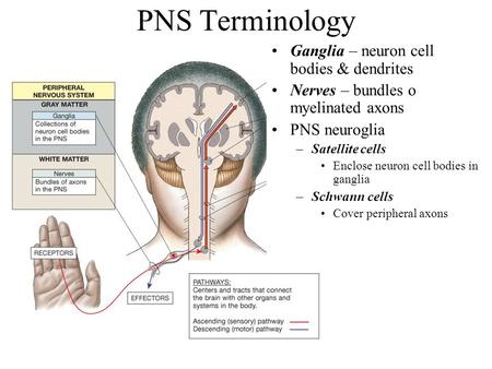 PNS Terminology Ganglia – neuron cell bodies & dendrites Nerves – bundles o myelinated axons PNS neuroglia –Satellite cells Enclose neuron cell bodies.