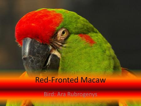 Red-Fronted Macaw Bird: Ara Rubrogenys. Contents Interesting Facts and Figures Page 3 The Ecosystem Page 4 Code of Ethics Page Children's Story Page Bibliography.