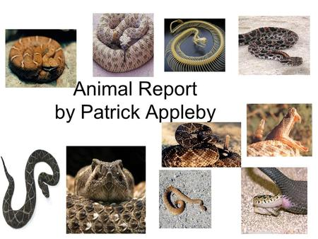 Animal Report by Patrick Appleby. Introduction Did you know that rattlesnakes actually smell with their nostrils and tongue? A rattlesnake is one of the.