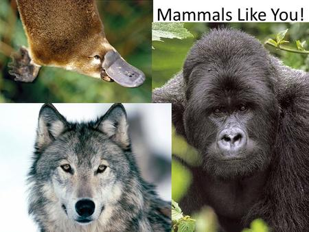 Mammals Like You!. So What's a Mammal? Fur & sweat glands Mammary glands (milk) Endothermic.