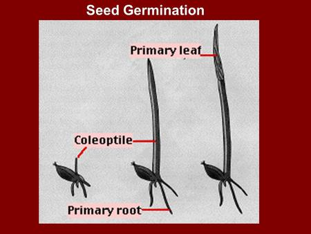 Seed Germination. What kind of soil are you? Hard SoilRocky SoilThorny SoilGood Soil Hears Word Doesn't understand Evil One Satan Devil Snatches it away.