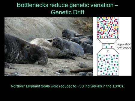 Bottlenecks reduce genetic variation – Genetic Drift Northern Elephant Seals were reduced to ~30 individuals in the 1800s.