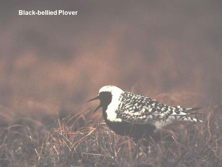 Black-bellied Plover. (winter plumage) Black-bellied Plover (molting plumage)