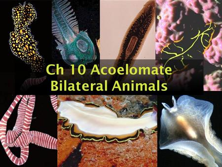 Ch 10 Acoelomate Bilateral Animals. Acoelomate Bilateral Animals Consist of phyla: –Phylum Platyhelminthes –Phylum Nemertea –And others.