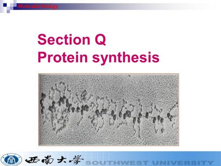 Section Q Protein synthesis