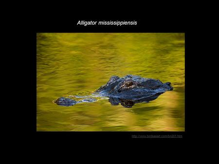 Alligator mississippiensis.