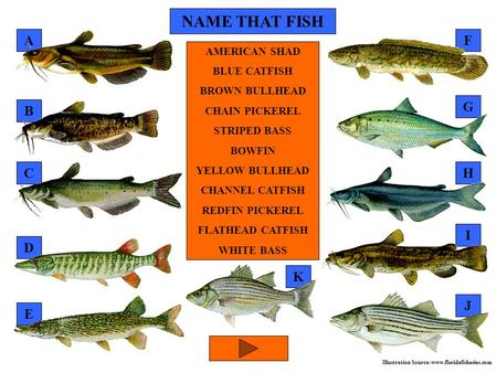 NAME THAT FISH G F D E C B A AMERICAN SHAD BLUE CATFISH BROWN BULLHEAD CHAIN PICKEREL STRIPED BASS BOWFIN YELLOW BULLHEAD CHANNEL CATFISH REDFIN PICKEREL.