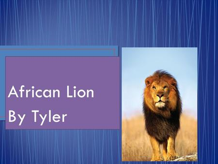 African Lion By Tyler. The Lion is a mammal. Scientific name is Panther a Leo.