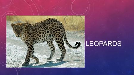 LEOPARDS. ANIMAL CLASSIFICATION Leopards are a member of the big cat family Leopards are mammals and are wild cats.