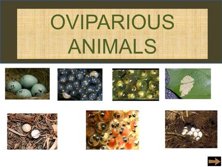 OVIPARIOUS ANIMALS. Birds Types of Birds that lay eggs… Ostrich Eagle Goose Pigeon Humming Bird Quail Heron Stork Ibises There are many other birds that.