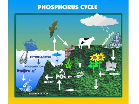 THE PHOSPHORUS CYCLE. Importance of phosphorus: in DNA and RNA, bones, teeth, shells, cell membranes.
