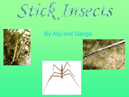 By Ally and Ganga. What are stick insects? Stick insects are thin stick like insects which live where there is enough trees (with leaves) to eat. They.