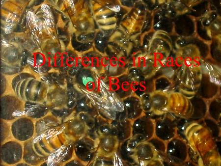 Differences in Races of Bees. Presentations online Before you take copious notes, all these presentations are online here:
