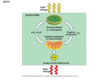 LE 9-2 ECOSYSTEM Light energy Photosynthesis in chloroplasts Cellular respiration in mitochondria Organic molecules + O 2 CO 2 + H 2 O ATP powers most.