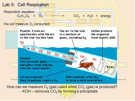Lab 5: Cell Respiration Respiration equation C 6 H 12 O 6 + O 2 CO 2 + H 2 0 + energy We will measure O 2 consumed. How can we measure O 2 (gas) used when.