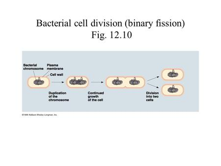 Bacterial cell division (binary fission) Fig. 12.10.