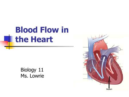 Blood Flow in the Heart Biology 11 Ms. Lowrie. Ongoing Cycle Could start anywhere Let's start with… Blood coming through the superior & inferior vena.