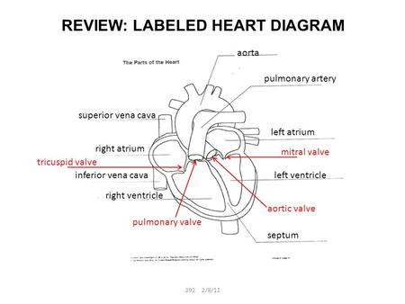 REVIEW: LABELED HEART DIAGRAM