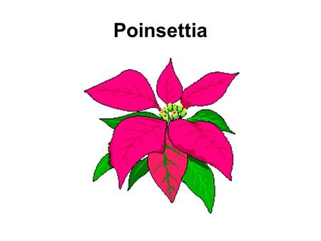 Poinsettia. Background Family:Euphorbiaceae Scientific NameEuphorbia pulcherrima Native to:Southern Mexico / Northern Guatemala Used by Aztecs as a symbol.