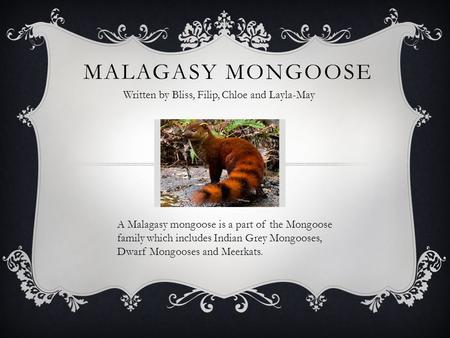 MALAGASY MONGOOSE Written by Bliss, Filip, Chloe and Layla-May A Malagasy mongoose is a part of the Mongoose family which includes Indian Grey Mongooses,