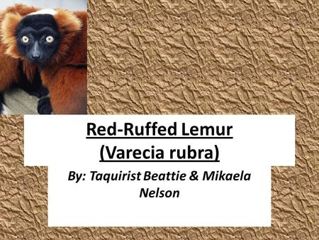 Red-Ruffed Lemur (Varecia rubra) By: Taquirist Beattie & Mikaela Nelson.