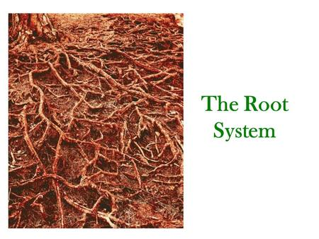 The Root System. The Functions of Roots - Absorption of water and nutrients (dissolved salts & minerals). - Conduction of absorbed materials into the.