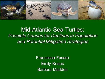 Mid-Atlantic Sea Turtles: Possible Causes for Declines in Population and Potential Mitigation Strategies Francesca Fusaro Emily Knaus Barbara Madden.