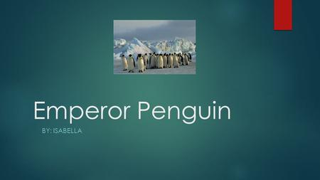 Emperor Penguin BY: ISABELLA. Describe how the animal looks:  No hands  Legs that are short  Sharp beaks  Really fat  Some penguins are orange, black.