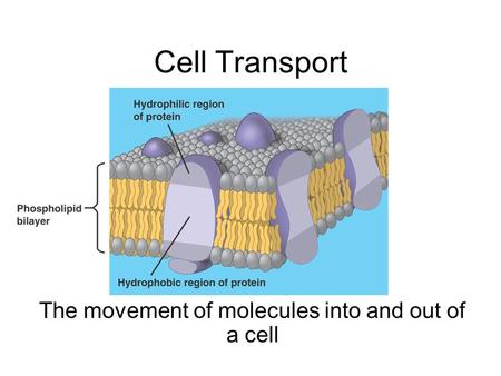 Cell Transport The movement of molecules into and out of a cell.