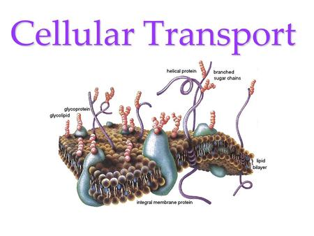 Cellular Transport Cellular Transport involves the Cell Membrane! PASSIVE TRANSPORT –E–E–E–Energy not required DIFFUSION OSMOSIS –H–H–H–Hypertonic –H–H–H–Hypotonic.