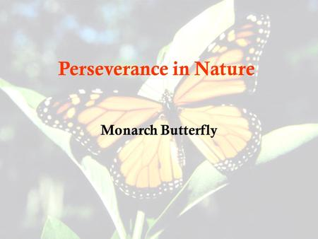 Perseverance in Nature Monarch Butterfly. Transformation Before: CaterpillarAfter: Butterfly.
