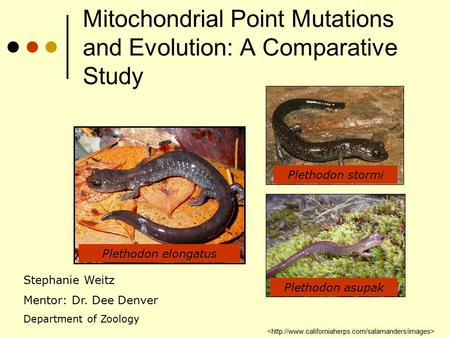 Mitochondrial Point Mutations and Evolution: A Comparative Study Plethodon elongatus Plethodon stormi Plethodon asupak Stephanie Weitz Mentor: Dr. Dee.