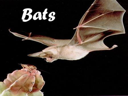 Bats. Bats are very unique! Bats are mammals They are the only mammals that are true fliers There are over 1,000 species of bats found on six of the seven.