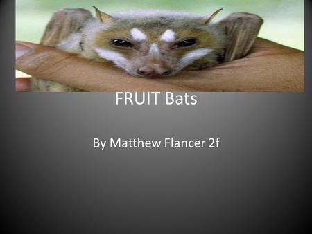 FRUIT Bats By Matthew Flancer 2f. Fun facts Fruit bats are endangered Hearing is not important Fruit bats have two different name Fruit bats hang upside.