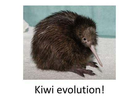 Kiwi evolution!. Species unique to NZ… Kiwi evolution Kiwi birds evolved to be flightless because: – NZ's isolation from other birds and environments.