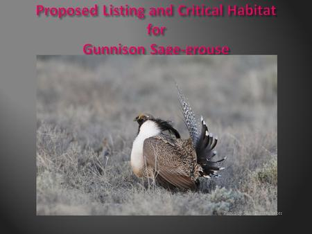 Photo by Mike Danzenbaker.  Proposed rules to add Gunnison sage-grouse to the list of threatened and endangered species and designate critical habitat.