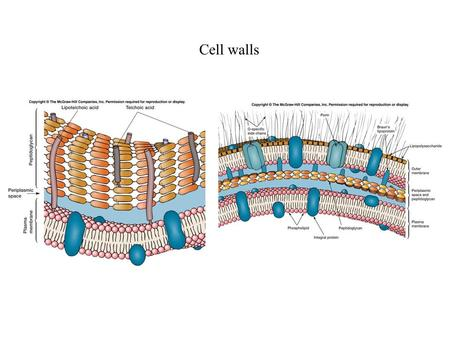 Cell walls.