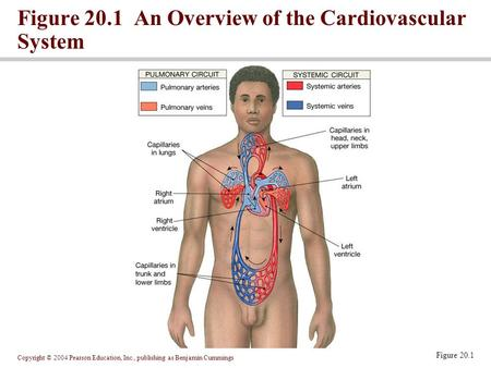 Copyright © 2004 Pearson Education, Inc., publishing as Benjamin Cummings Figure 20.1 An Overview of the Cardiovascular System Figure 20.1.