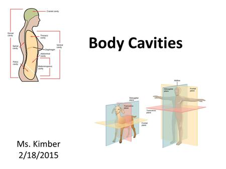 Body Cavities Ms. Kimber 2/18/2015. Anatomical Terms Anterior is… – In front or in the front part: Posterior is… – Behind, in back, or in the rear: Lateral.