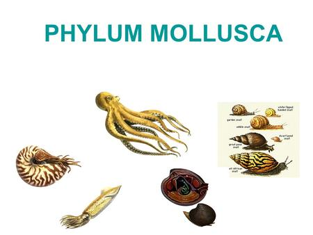 PHYLUM MOLLUSCA Mollusks Mollusks (Mollusca) –extremely diverse –characterized by a coelom great economic significance –pearls –mother of pearl economic.